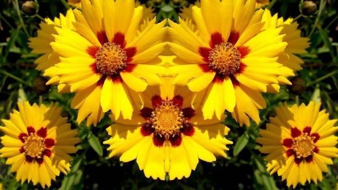 Кореопсис: фото и виды, посадка и уход за цветком | спутниковые технологии