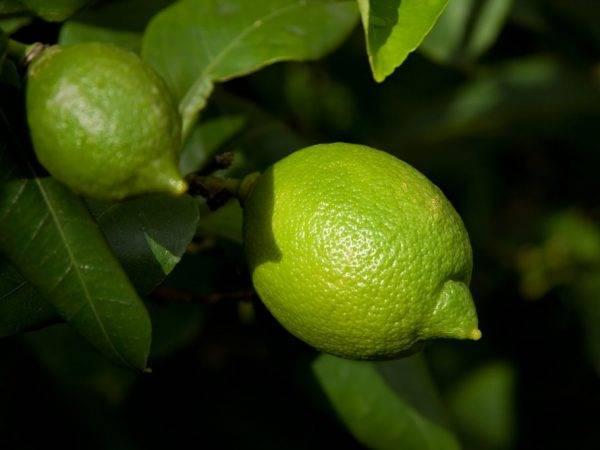 Лимон комнатное растение – уход в домашних условиях - what flower?