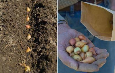 Лук штутгартер ризен: описание репчатого лука, выращивание и уход за сортом