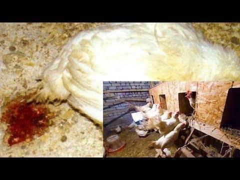 Почему цыплята клюют друг друга до крови: причины, что делать