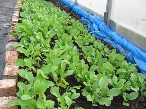 Как выращивать редис правильно - советы опытных садоводов
