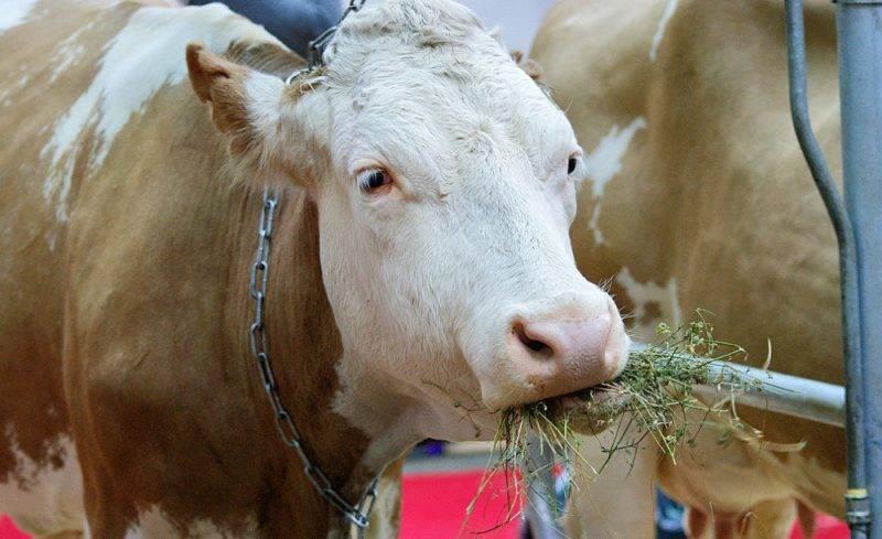 Русская комолая порода мясных коров