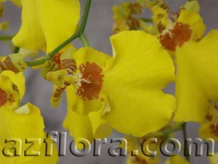 Орхидея толумния: уход в домашних условиях, пересадки и размножение