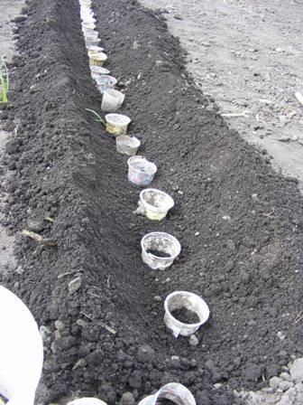 Посадка огурцов в открытый грунт семенами и рассадой