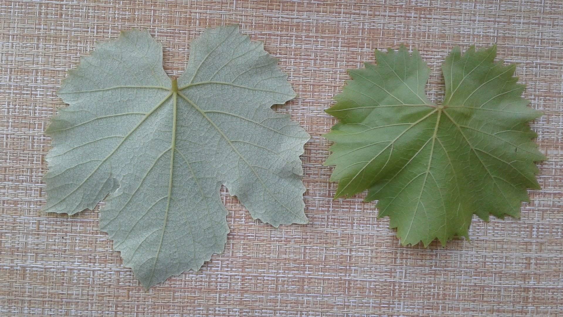 Виноградные листья: польза и вред для организма человека