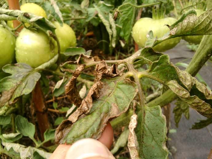 Подкормка помидор в теплице: полезная инструкция