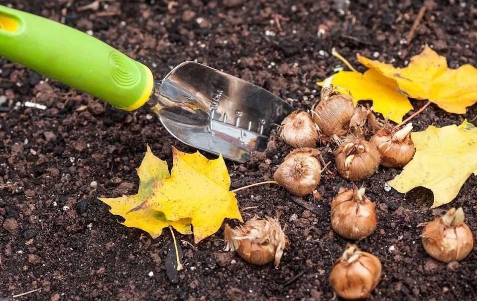 Когда сажать тюльпаны в открытый грунт осенью и как сделать это правильно