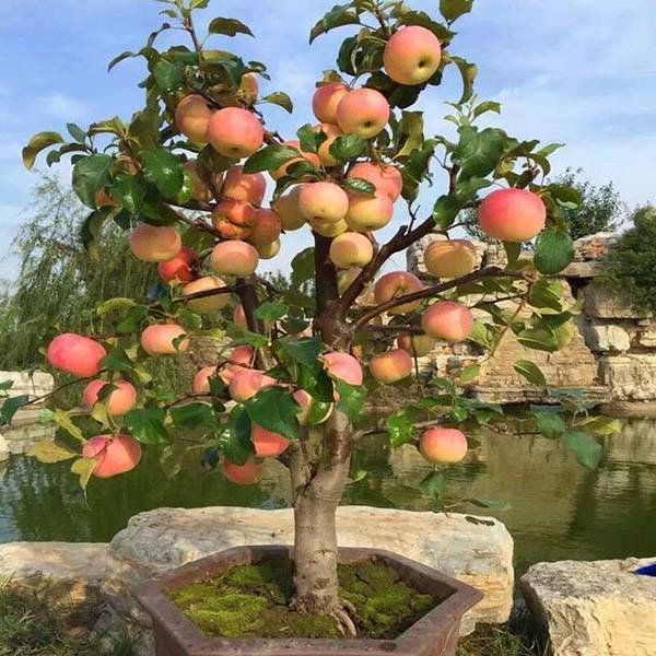 Карликовая яблоня: посадка и уход, обрезка, описание сортов для подмосковья, фото