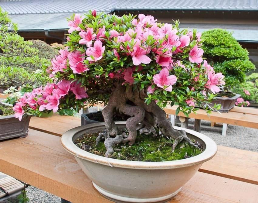 Азалия и все о ней: что это такое, как выглядит комнатное растение, что означает название и описание рододендрона, фото цветка в горшке, посадка в домашних условиях русский фермер