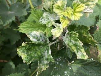 Обработка смородины от вредителей и болезней весной, летом и осенью
