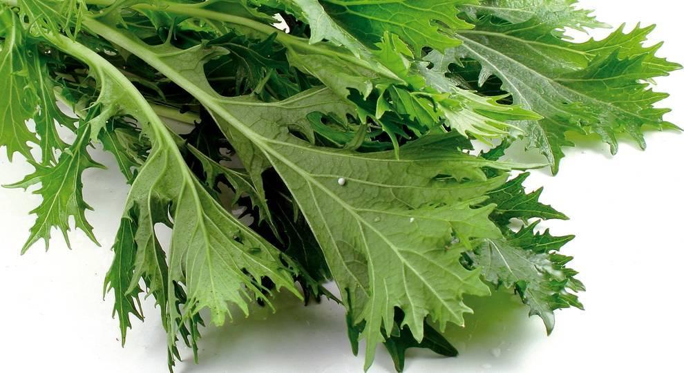 Японская капуста мизуна: выращивание, фото, отзывы