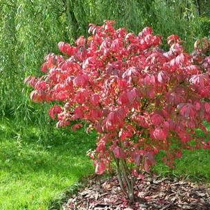 Карликовые деревья для сада с названиями и фото