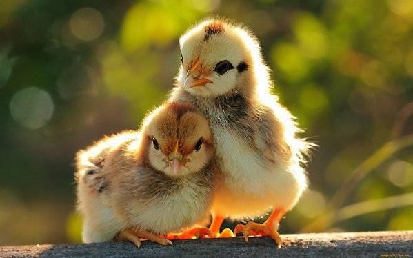 Выращивание цыплят: правильный уход в домашних условиях