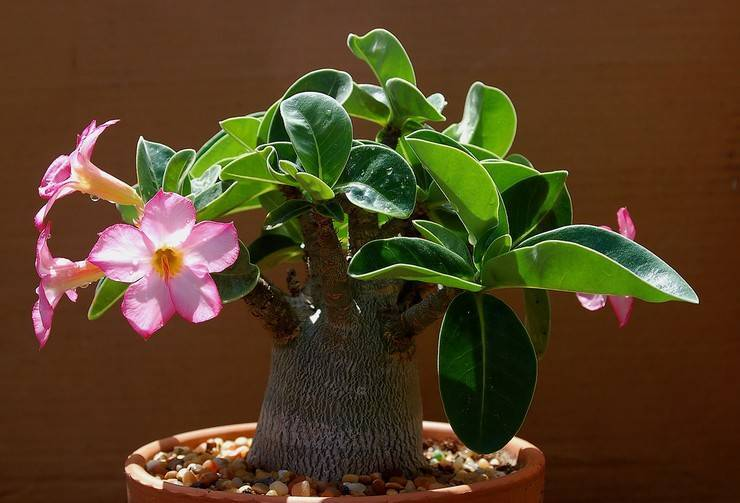 Выращивание адениум из семян в домашних условиях