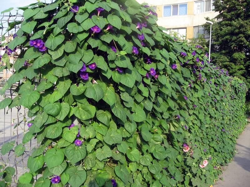 Вьющиеся цветы для сада многолетние. фото