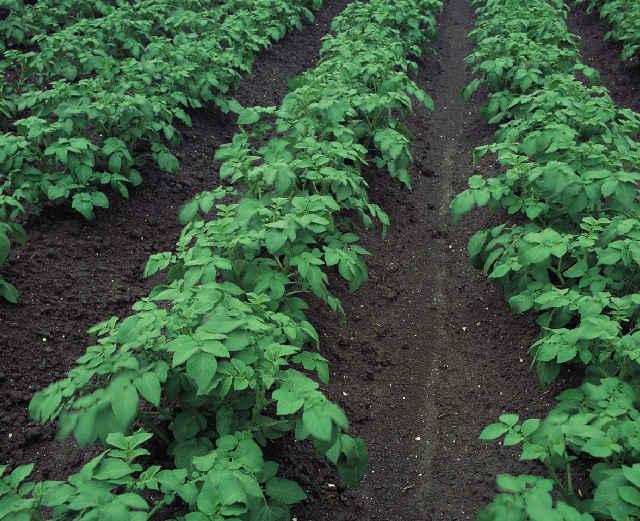 Зенкор для картофеля: особенности и инструкция по применению