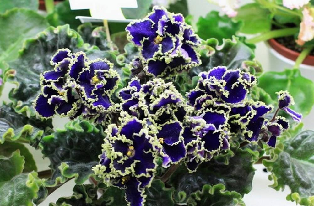 Как выглядит фиалка — описание растения. 10 очаровательных сортов фиалок, которые украсят ваше окно
