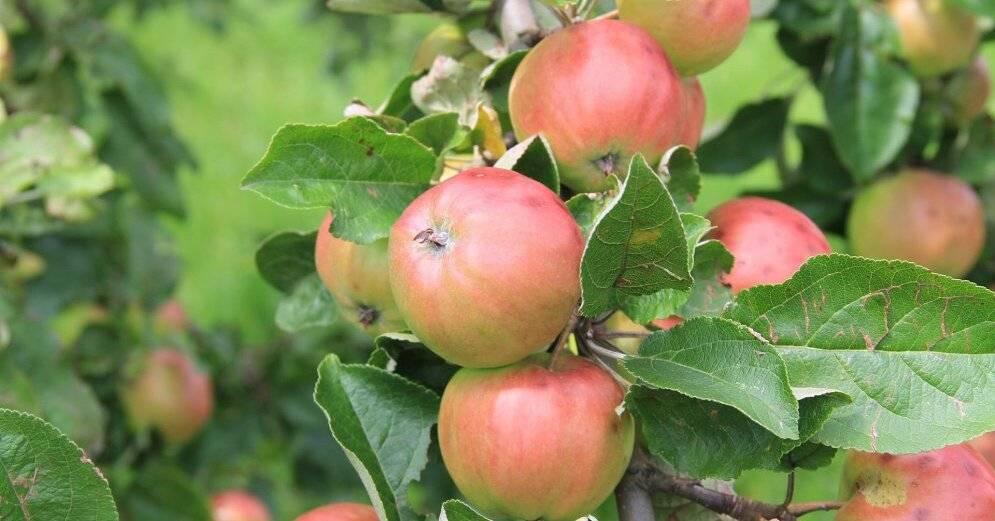 Когда сажать яблоню: весной или осенью? выбор лучшего срока посадки