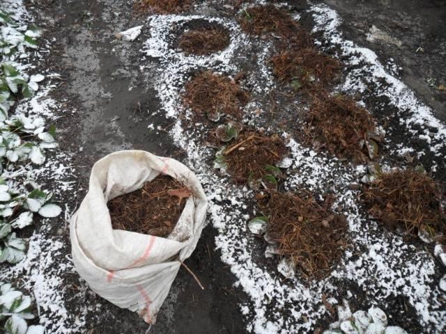 Правильный уход за клубникой осенью и подготовка кустов к зиме