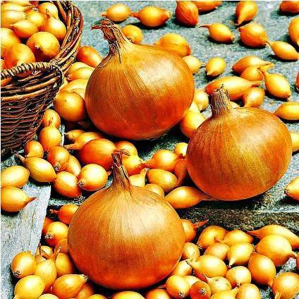 Лучшие сорта лука севка для посадки в средней полосе и подмосковье