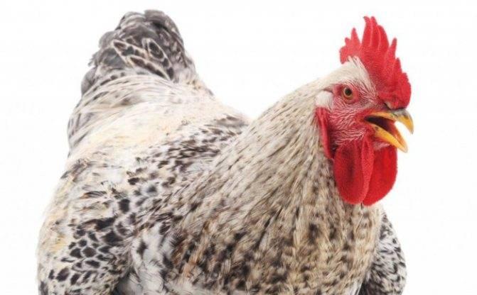 Породы кур, несущих цветные яйца