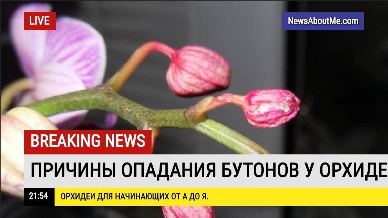 Почему у орхидеи опадают бутоны и ещё нераспустившиеся цветы? что делать в этом случае? – дачные дела