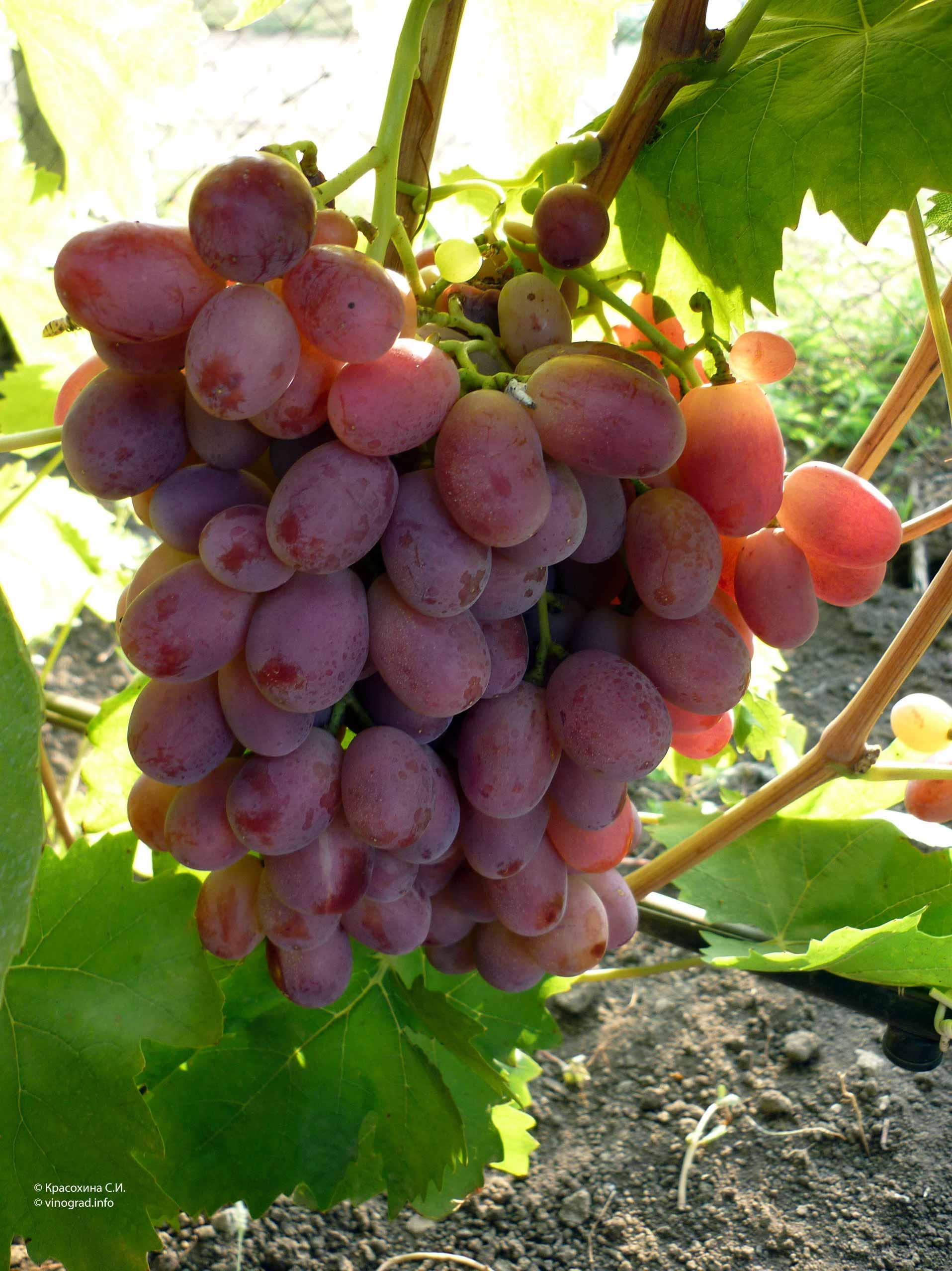 Виноград ризамат: описание разновидности сорта римазат и его основные характеристики