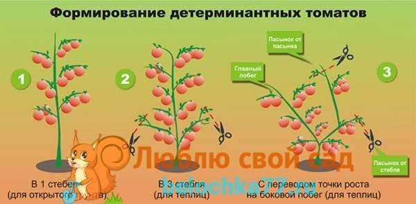 Как формировать помидоры в открытом грунте: кусты низкорослых и высокорослых сортов, фото и видео