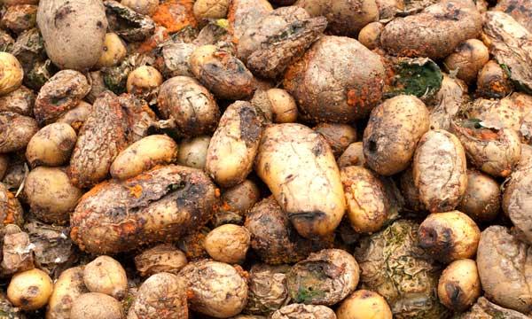 Сухая гниль картофеля: как с нею бороться