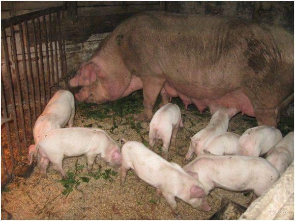 Порода свиней крупная белая — описание
