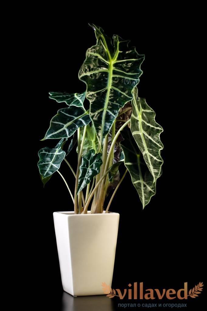 Алоказия полли: описание и большие фото растения, способы посадки и правила ухода в домашних условиях