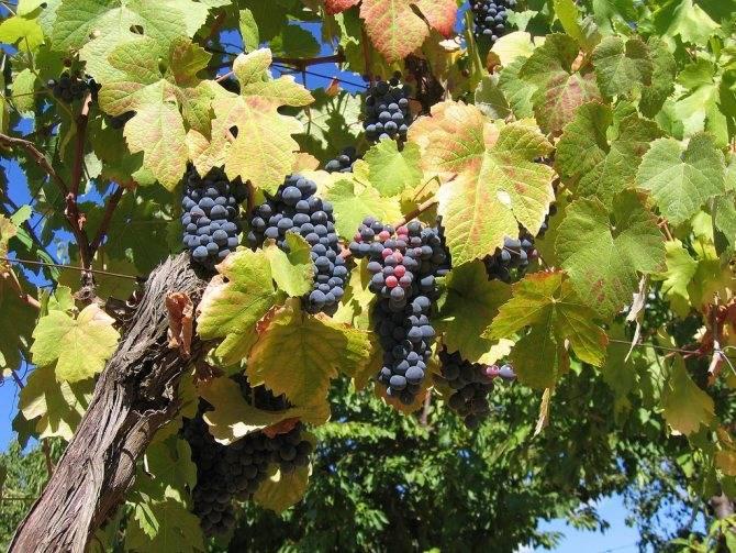 Железный купорос для винограда: применение раствора