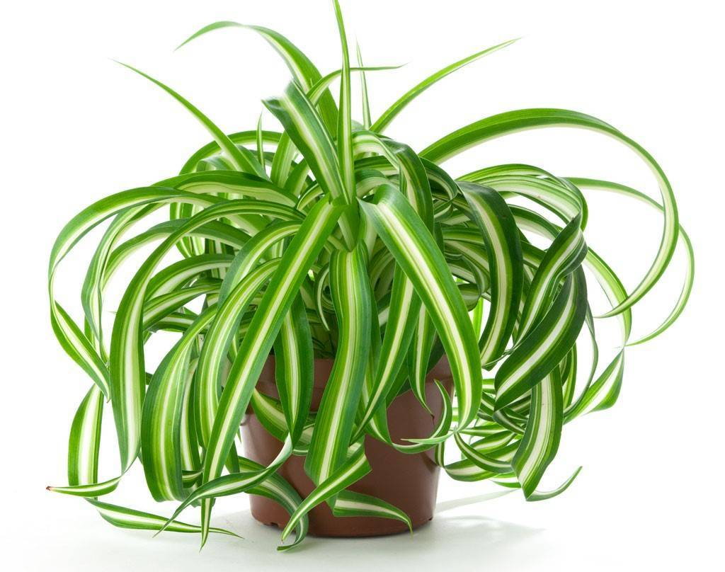 Хлорофитум: уход, содержание в зимний период, размножение и место в доме | огородники
