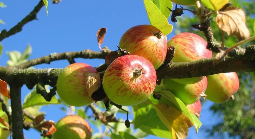 Яблоня: болезни и вредители и борьба с ними