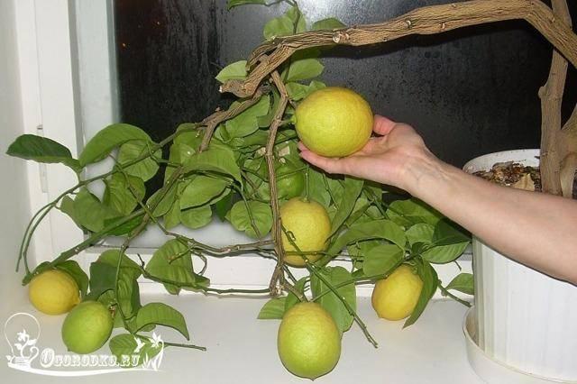 """Лимон """"мейера"""": описание, фото, уход в домашних условиях"""