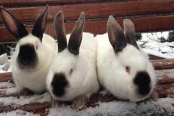 Порода кроликов калифорнийская: описание породы, ее разведение и скрещивание, характеристика и содержание