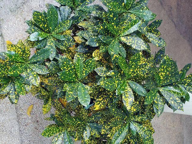 Кротон (кодиеум): 7 популярных видов. все о домашнем уходе за растением