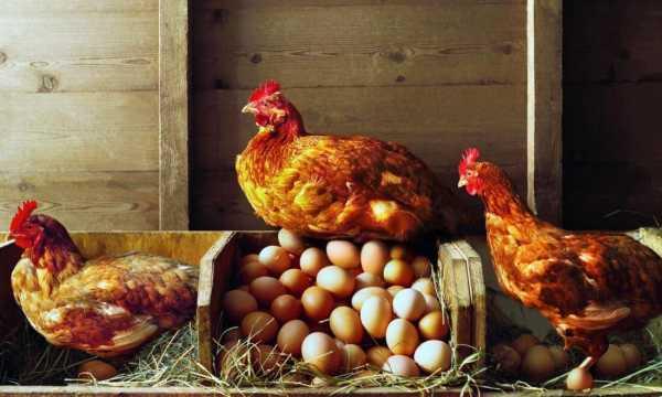 Чем кормить кур несушек зимой: рацион