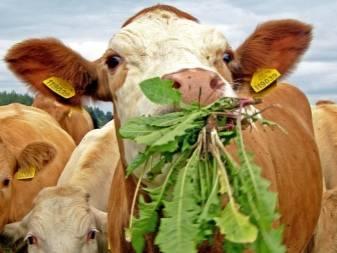 Сухостойный период у коров: что это такое? кормление и уход