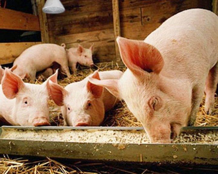 Кормление свиней • рацион и условия в домашних условиях