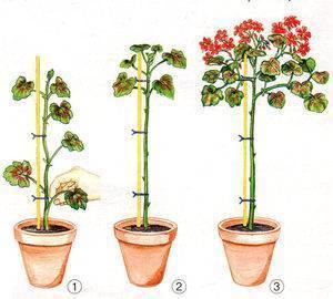 Обрезка королевской герани для пышного цветения в домашних условиях, и как заставить набрать бутоны, почему их нет, а пеларгония дает только листву, и что делать? русский фермер