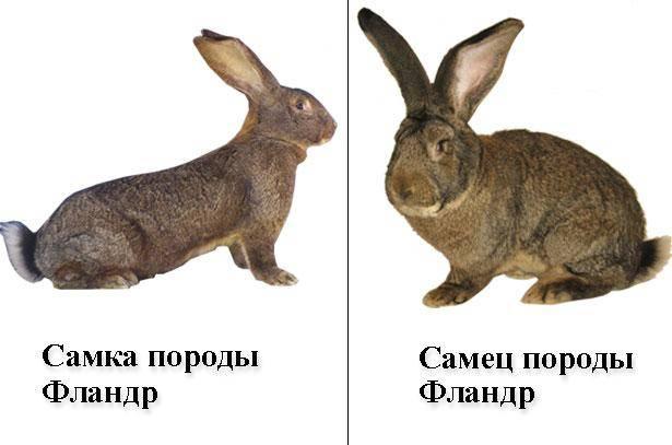 Как определить пол кролика, чем различаются самки от самцов