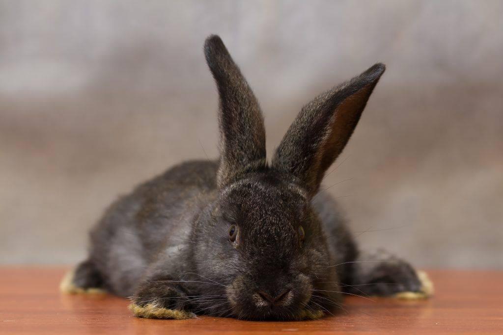 Окрол крольчихи в домашних условиях