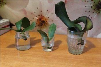 Как нарастить корни орхидеи фаленопсис: пошаговая инструкция