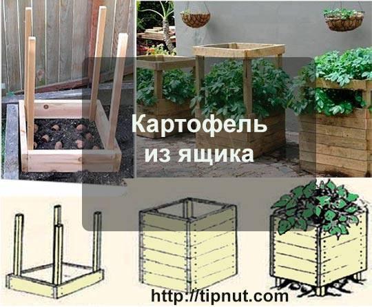 Картофель в бочке: преимущества и особенности выращивания: новости, картофель, лайфхаки, урожай, сад и огород