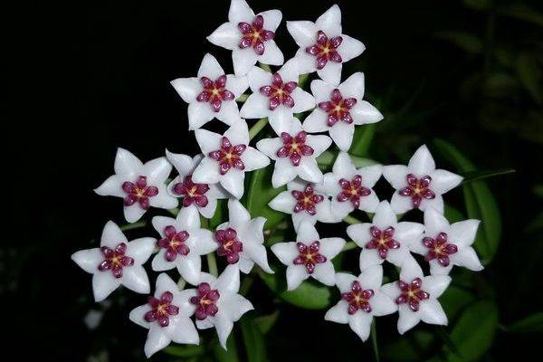 Особенности ухода и выращивания удивительного цветка — хойи куртиси