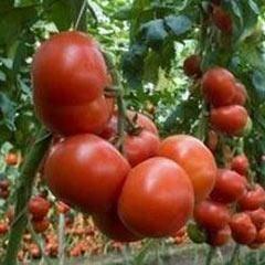Томат тайлер f1: характеристика и описание сорта, фото, отзывы, урожайность