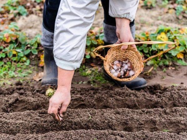 Как правильно посадить озимый чеснок осенью на урале: сроки посадки под зиму, схемы, особенности