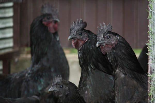 Ухейилюй порода кур – описание, фото и видео