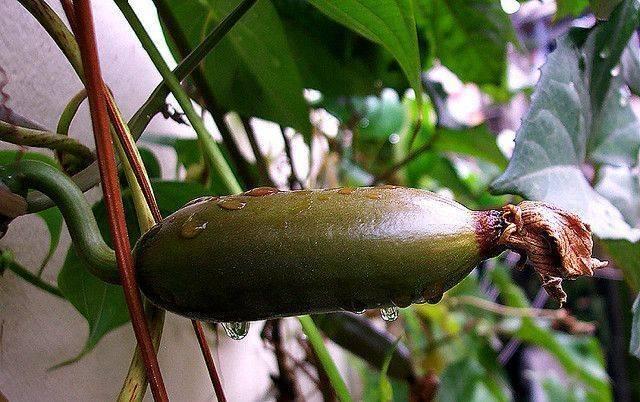 Секреты выращивания катананхе из семян